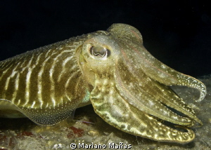 cuttlefish by Mariano Ma&#241;as 